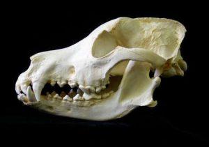 Dog anatomy: do some dogs have locking jaws?